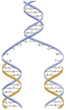 Репликация (копирование) ДНК. Мономеры (нуклеотиды): А - аденин; G – гуанин; Т - тимин;  С-цитозин